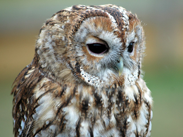 Meet the Owls of Leeds Castle