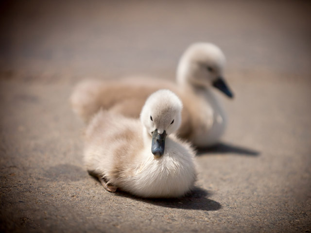 Meet the Baby Swans