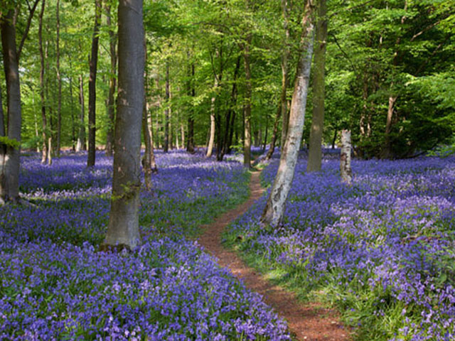 Beautiful Bluebells Walk